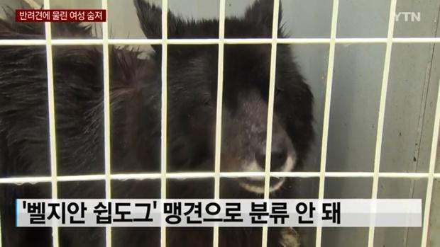 '김민교 강아지' 벨지안쉽도그 (사진 : YTN)